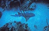 Nurse Shark swimming near the bottom Bahamas Caribbean