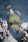 Titan Triggerfish grazing corals  Red Sea Egypt