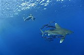 Oceanic Whitetip Shark with its Pilotfishes