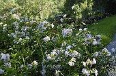 Soapwort in bloom in a garden Doubs
