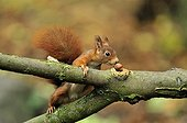 Ecureuil roux trouvant une noisette en automne Ile-de-France