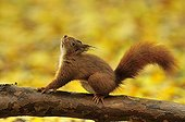 Red squirrel stretching on a branch Ile-de-France