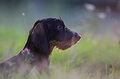 Wire-haired Dachshund puppy seated and attentive France
