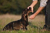 Master calming Wire-haired Dachshund in a meadow France