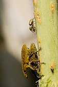 Spider and mating pair of Weevils on stem France
