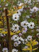 Aster 'Vasterival' in bloom in a garden