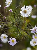 Aster 'Vasterival' and cobweb in a garden