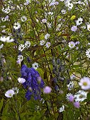 Aster 'Vasterival' and aconite in bloom in a garden