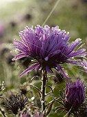 Dew on aster flower in a garden