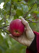 Harvest of an apple 'Melrose' in an orchard