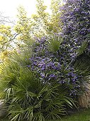 Hardenbergia in bloom and European fan palm in a garden
