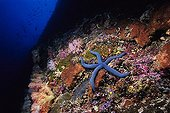 Blue Linckia Sea Star on a coral reef Sulawesi Island