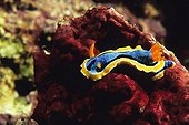 Nudibranch crawling on a Hard Coral Banggai Archipelago