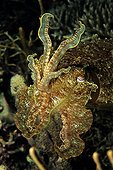 Broadclub Cuttlefish in defense attitude Indonesia