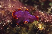 Colorful Polyclad Flatworm moving on a Hard Coral Indonesia