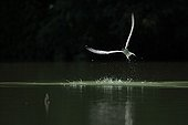 Common Tern flying above water Marne France