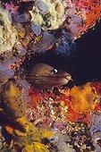 Murène dans son trou entouré d'Ascidies bleues Ile du Nord