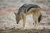 Black-backed jackal in defense pose Kgalagadi South Africa