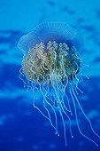 Moon Jellyfish swimming in open water Red Sea Egypt