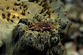 Crab on a Sea Cucumber in the Maldives