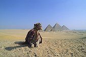 Camel lying on the Giza plateau with the pyramids