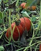 Potiron 'Rouge d'Étampes' dans un jardin potager