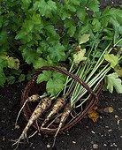 Parsnips 'of  Guernesay' in a basket in a vegetable garden