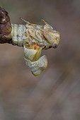 Mue imaginale d'une Cigale commune en été Provence France