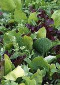 Salad Mesclun
