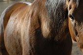 Regard de cheval selle français Manège couvert France