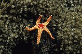 Peppermint Sea Star moving on polyps in the Maldives