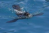 Antarctic fur seal swimming surface South Georgia