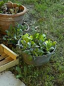 Planting out of sowing in a garden