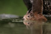 Red Squirrel near water Hungary