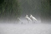 Spoonbills walking in water in the rain Hungary