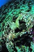 Murène ponctuée surveillant à l'entrée de son trou Atoll Ari