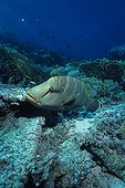 Humphead Wrasse swimming near the seabed in the Red Sea