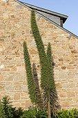 Vipérines le long du mur d'une maison Ile de Bréhat Bretagne