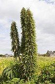 Vipérines dans un jardin privé Ile de Bréhat Bretagne