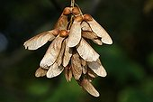 Sycomore samara with two winged seeds Alsace France