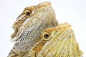 Portrait of two Central Bearded Dragons Paris ; Agama from Australia