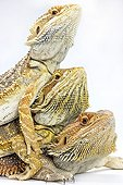 Central Bearded Dragons warming one on others Paris ; Agama from Australia