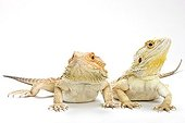 Central Bearded Dragons warming theirselves Paris ; Agama from Australia