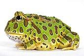 Ornate Horned Frog in studio ; Horned frog native of Argentina.