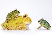 Three varieties of Horned Frog in studio ; Horned frogs native of Argentina.<br><br>The two individuals on the ground are Chacoan Horned Frog : the yellow individual is an albino. The third individual belongs to Ceratophrys ornata species.