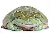 Portrait of a White's tree frog adult and obese in studio ; Tree Frog native of Australia and New Guinea.