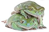 White's tree frogs adult ande obese superimposed ; Tree Frog native of Australia and New Guinea.
