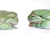 White's tree frogs adult and obese one on one ; Tree Frog native of Australia and New Guinea.