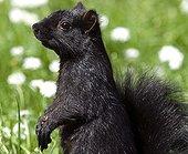 Gray squirrel melanin Stanley Park Vancouver Canada