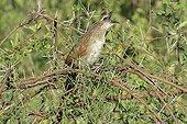 Coucal de Burchell criant dans un acacia Tanzanie
